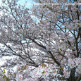 満開の桜_1
