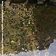 水路のザリガニ