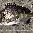 美しいシルバーの魚体