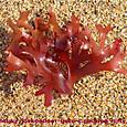 ツヤツヤの赤い海藻