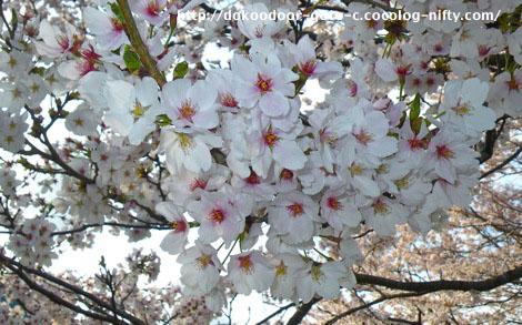 満開の桜_2