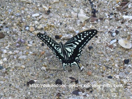 海岸のアゲハチョウ